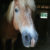 Sho The Haflinger Is Happy And Healthy Thanks To Anne